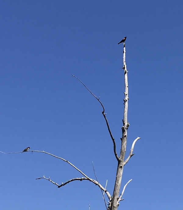 birds in dead tree2